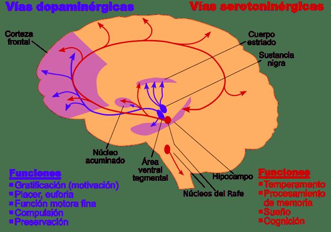 dopamina y corteza prefrontal