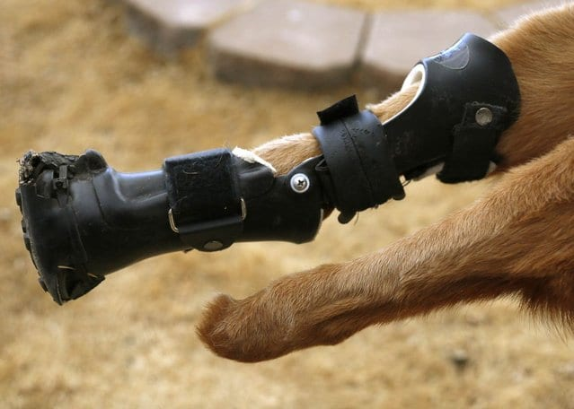 animal mutilado