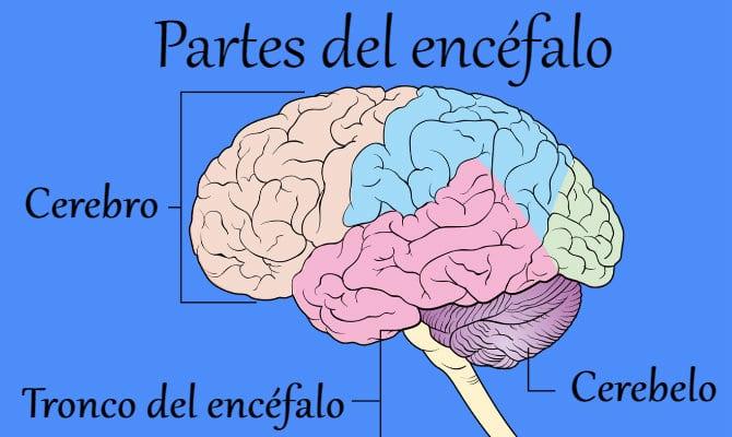 Cerebro Humano: Partes Y Funciones