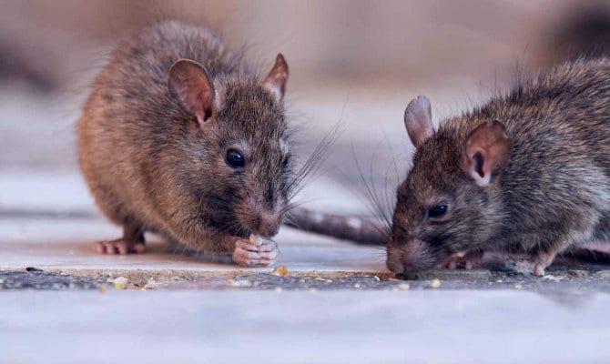 Te Enseñamos El Significado De Soñar Con Ratas