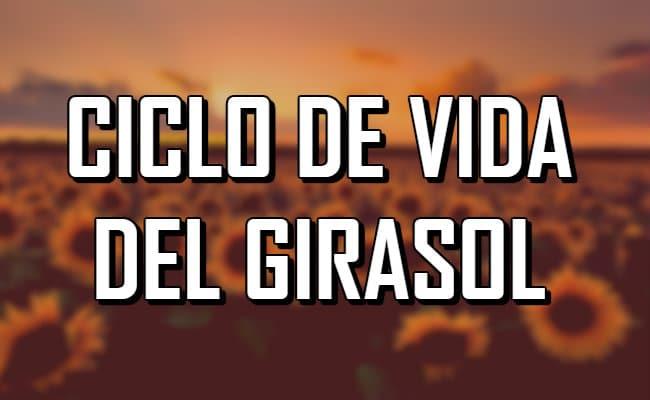 ¿Cómo es el ciclo de vida del Girasol?