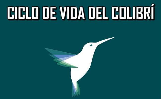 Conoce cuál es el ciclo de vida del colibrí y los detalles de sus etapas