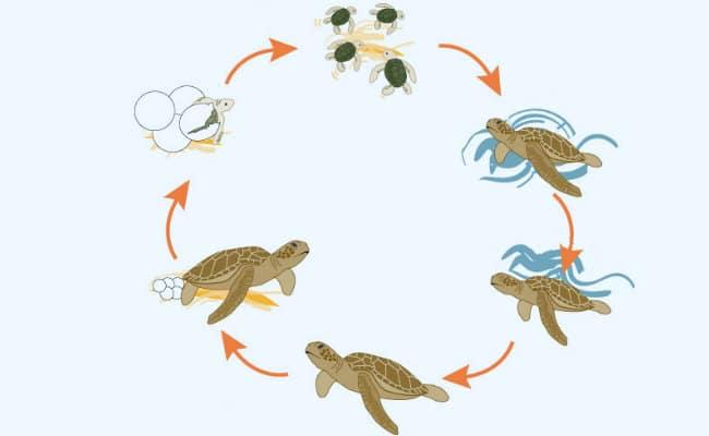 Conoce las etapas del ciclo de vida de la tortuga marina