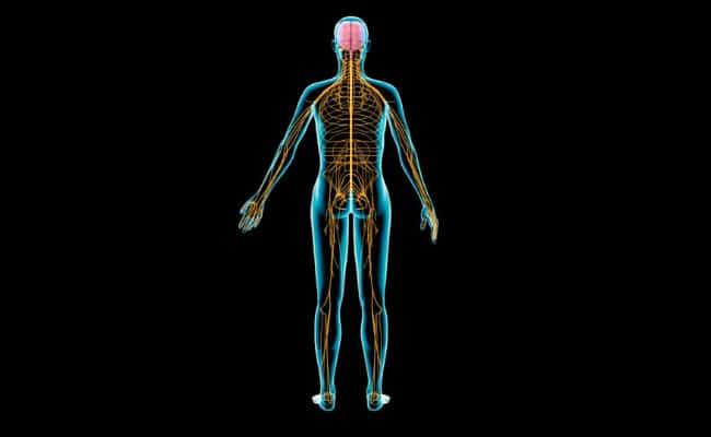 Sistema nervioso periférico: ¿Cuáles son sus partes y funciones?