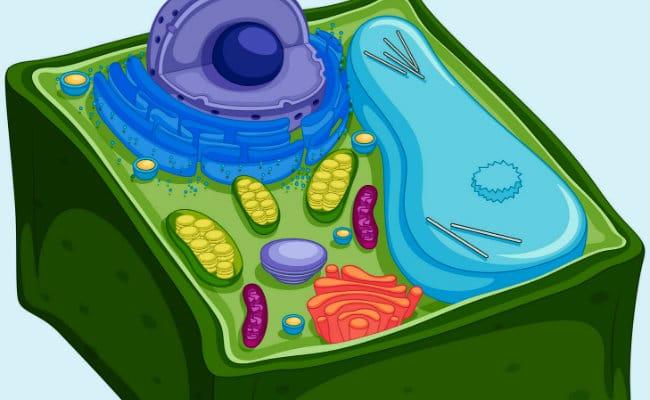 Todo lo que deberías saber sobre la célula vegetal