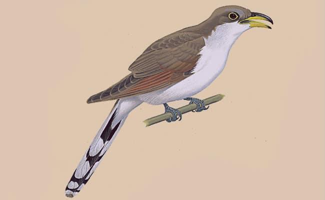 Características principales del pájaro cuclillo
