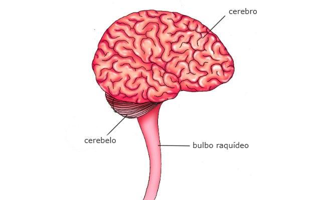 Conoce la anatomía y las funciones del bulbo raquídeo