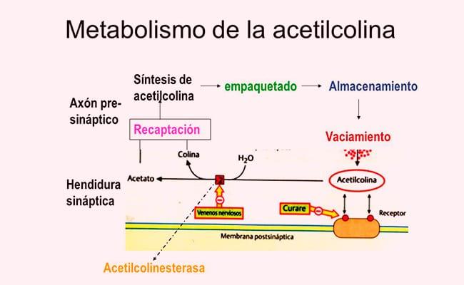 Acetilcolina 1
