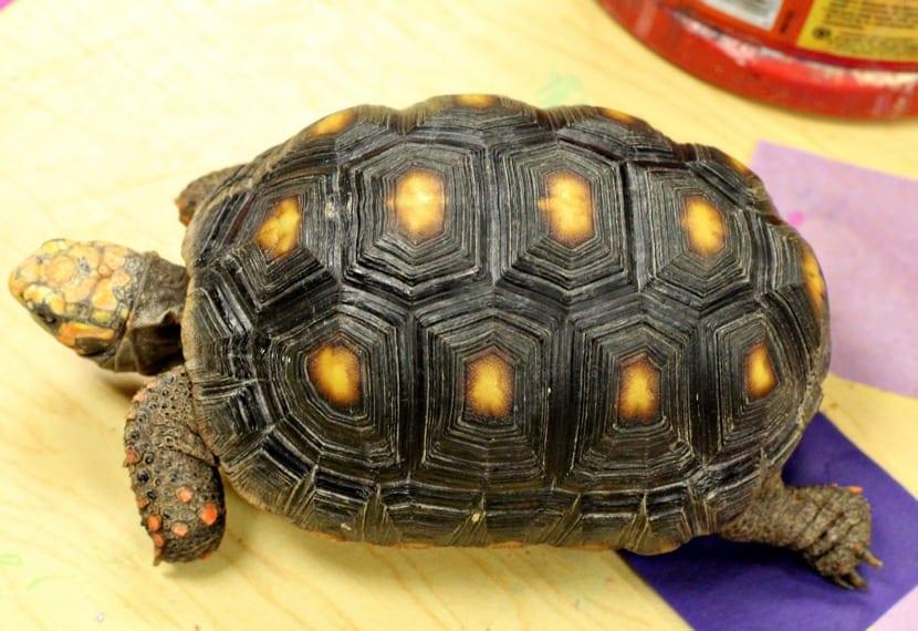 tortuga de tierra caminando