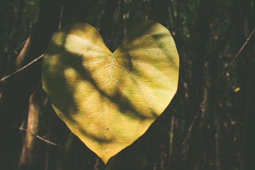 hoja en forma de corazon
